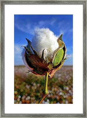 Cotton Pickin' Framed Print by Skip Hunt