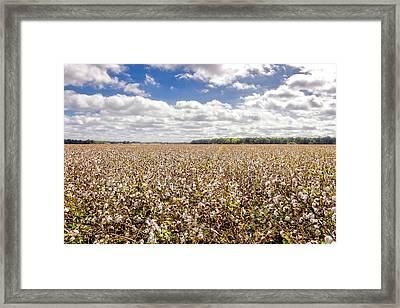 Cotton Sky Over Cotton Fields - Frogmore Plantation Framed Print by Frank J Benz