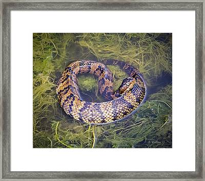 Cottonmouth Framed Print by Brian Wallace