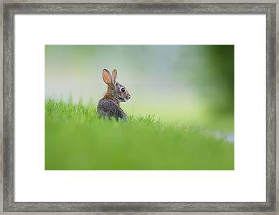 Cottontail Baby Framed Print