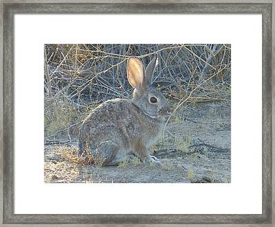 Cottontail Rabbit Morning Light Framed Print