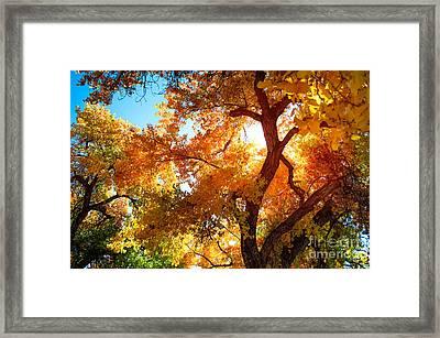 Cottonwood Glow Framed Print