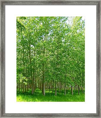 Cottonwood Oasis Framed Print by Will Borden
