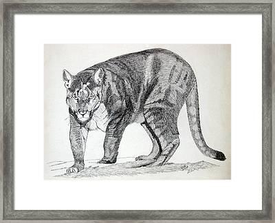 Cougar Framed Print by Daniel Shuford