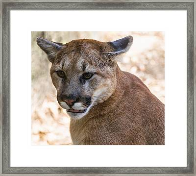 Cougar Portrait Framed Print by Chris Flees