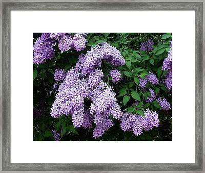 Country Lane Lilacs 1 Framed Print by Will Borden