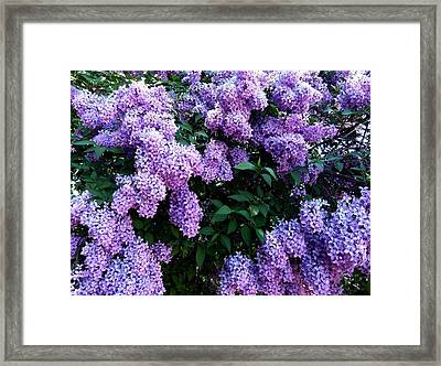 Country Lane Lilacs 2 Framed Print by Will Borden
