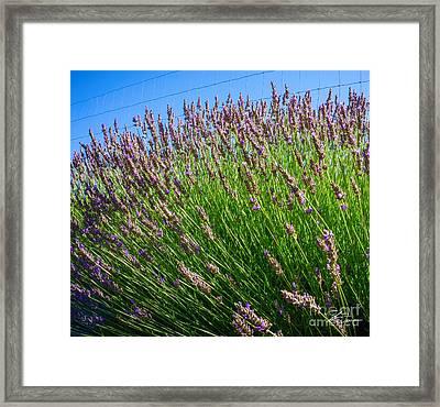Country Lavender I  Framed Print by Shari Warren