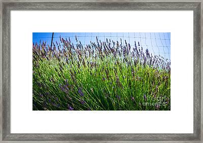 Country Lavender II Framed Print by Shari Warren