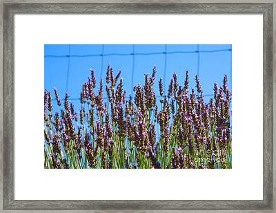 Country Lavender Iv Framed Print by Shari Warren