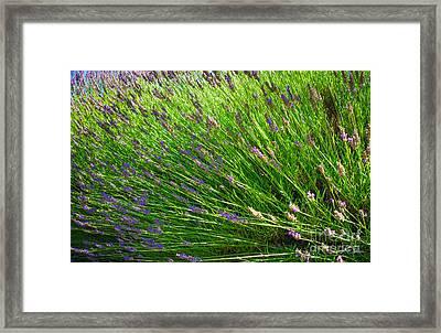 Country Lavender Vi Framed Print by Shari Warren