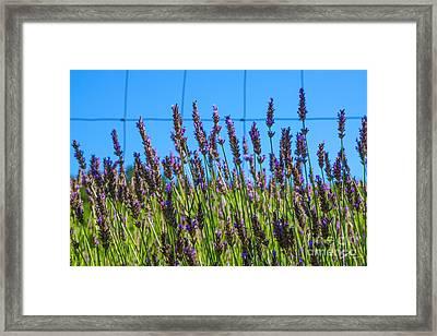 Country Lavender Vii Framed Print by Shari Warren