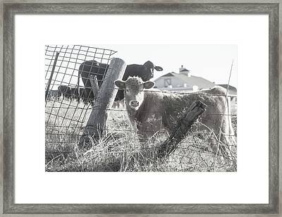 Country Living For These Cows Framed Print by Toni Hopper