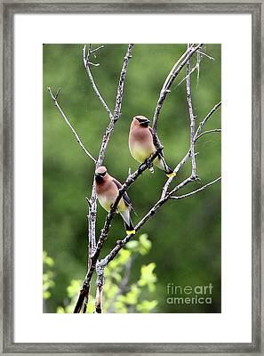 Couple Cedar Waxwing Framed Print by Marle Nopardi