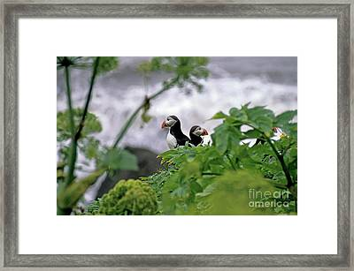 Couple Of Puffins Perched On A Rock Framed Print by Sami Sarkis