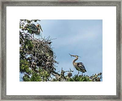 Courting Herons 1 Framed Print by Kate Brown