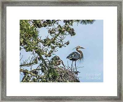 Courting Herons 2 Framed Print by Kate Brown