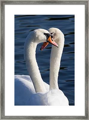 Courting Swans Framed Print by David Pyatt