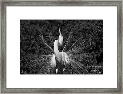 Great Egret Courtship Plumes Framed Print