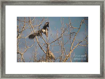 Framed Print featuring the photograph Courtship Ritual Of The Great Blue Heron by David Bearden