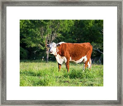 Cow #1 Framed Print