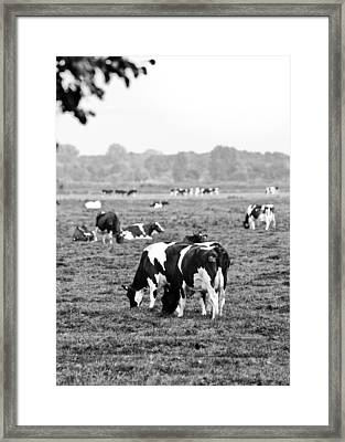 Cow 188 Framed Print