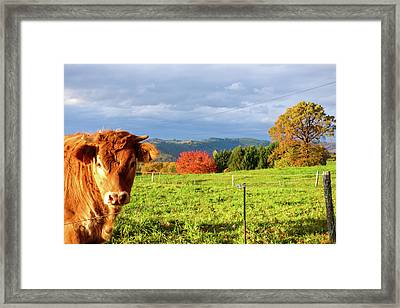 Cow And Autumn Colors  Framed Print