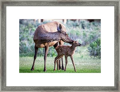 Cow And Calf Elk Framed Print