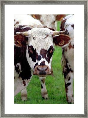 Cow Closeup Framed Print