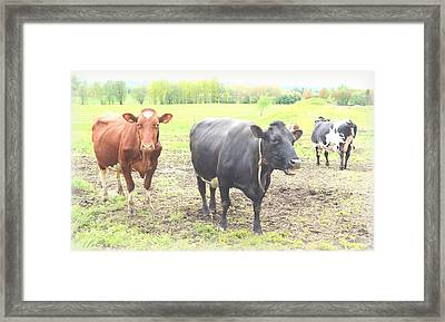 Cows Not Silly At All Framed Print by Hilde Widerberg