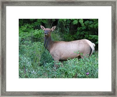 Cow Elk Framed Print by Mel Crist