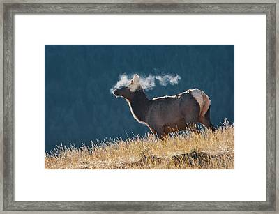 Cow Elk With Steamy Breath Framed Print