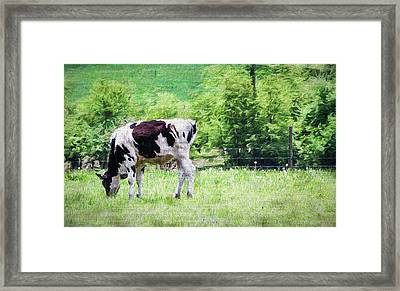 Cow Grazing Framed Print