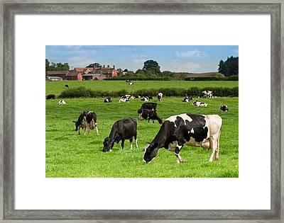 Cow Landscape Framed Print by Amanda Elwell