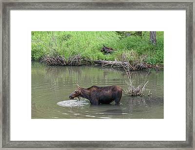 Framed Print featuring the photograph Cow Moose And Calf by James BO Insogna