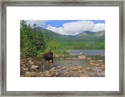 Cow Moose Looking Back At Sandy Stream Pond Framed Print by John Burk
