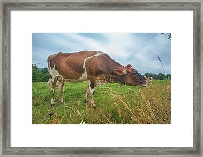 Cow Tasting Test Framed Print
