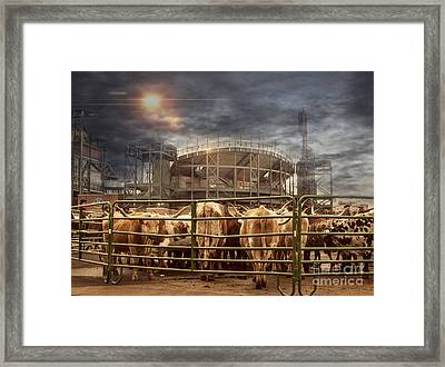 Cow Town Framed Print by Juli Scalzi