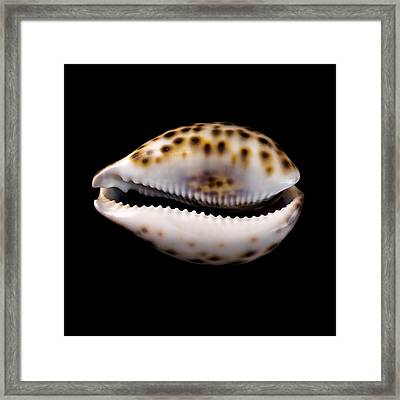 Cowry Sea Shell Framed Print