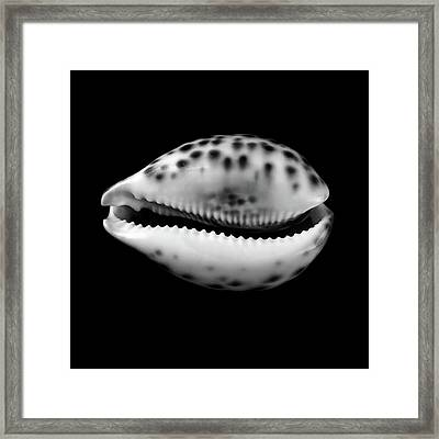 Cowry  Shell In Black And White Framed Print