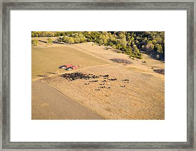 Cows And Trucks Framed Print