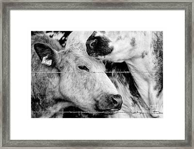 Cows Behind Barbed Wire Framed Print by Nick Biemans