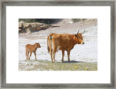 Cows Framed Print by Elisa Locci