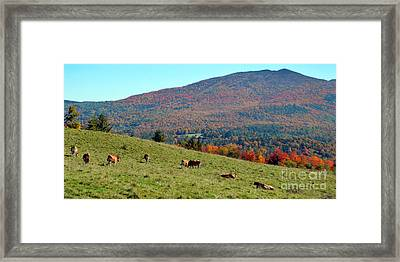 Cows Enjoying Vermont Autumn Framed Print by Catherine Sherman