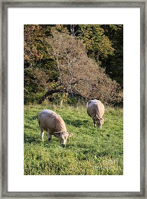 Cows Grazing In A Field Etna Nh Framed Print