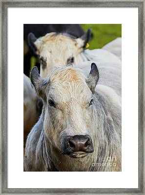 Cows In A Row Framed Print by Nick Biemans