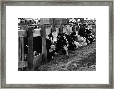 Cows In Black And White  Framed Print