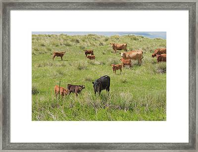 Cows In Field 2 Framed Print