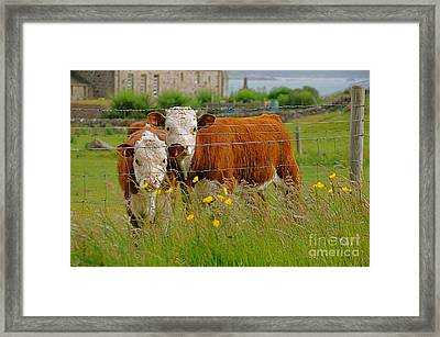 Cows In Iona Framed Print by Louise Fahy