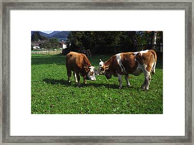Cows Nuzzling Framed Print by Sally Weigand
